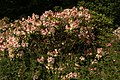 Rhododendron P0692.jpg