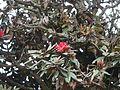 Rhododendron arboreum subsp. nilagiricum (6370032791).jpg