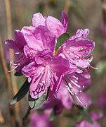 Rhododendron dauricum Dahurianalppiruusu IM7357 C.JPG
