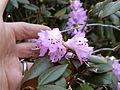 Rhododendron desquamatum (5556544995).jpg