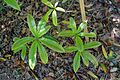 Rhododendron moulmainense (Rhododendron stenaulum) - Caerhayes Castle gardens - Cornwall, England - DSC03054.jpg
