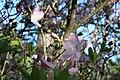 Rhododendron schlippenbachii Kuningataratsalea C IMG 3207.JPG