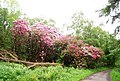Rhododendrons by the track to Muncaster Head - geograph.org.uk - 1337177.jpg