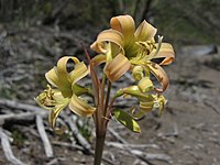 Rhodophiala montana 001.jpg
