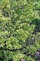 Ribes alpinum Aureum - Floraison.jpg