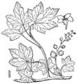 Ribes glandulosum BB-1913.png