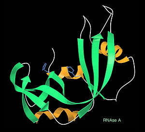 Kinemage -  Ribonuclease A ribbons, from a kinemage displayed in Mage: β-strands are green, helices gold, and active-site His sidechains blue.