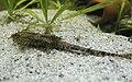 Rineloricaria lanceolata 06.jpg