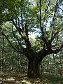 Roble milenario (Quercus pyrenaica).JPG