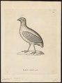 Rollulus roulroul - 1700-1880 - Print - Iconographia Zoologica - Special Collections University of Amsterdam - UBA01 IZ17100267.tif