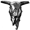 Romano-British skull, with upturning horn-cores, from Reach Fen, Cambridge (Evolution of British Cattle).png