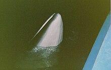 Apprendre de la Baleine dans BALEINE 220px-Rorqual_commun_en_1989_pr%C3%A8s_du_navire_Alcide_C._Horth
