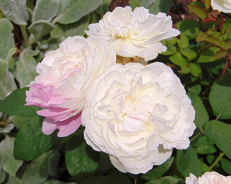 File:Rosa 'Rose-Marie' 1.jpg