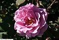 Rosa Angel Face 1zz.jpg