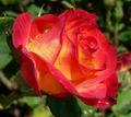 Rosa Perfect Moment 2.jpg