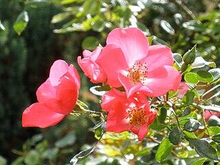 Ruža galská