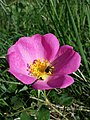 Rosa gallica sl27.jpg