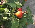 Rosa villosa fruit (05).jpg