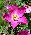 Rosa willmottiae 3.jpg