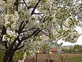 Rosales - Prunus cerasus 2.jpg