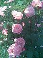 Rosales - Rosa cultivars 8 - 2011.07.11.jpg