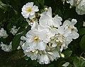 Rosarium Baden Rosa 'Bobbie James' Sunningdale Nursery 1961 02.jpg