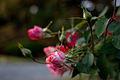Rose, Orange Splash - Flickr - nekonomania (2).jpg