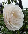 Rose - Marie-Luise Marjan.jpg