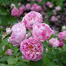 Rose Honoline de Brabant オノリーヌ ドゥ ブラバン (4644674891).jpg