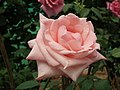 Rose from Lalbagh flower show Aug 2013 8572.JPG