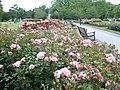 Rosebeds in Queen Mary's Gardens, Regent's Park - geograph.org.uk - 1357781.jpg