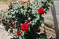 Roses Near Ashdod (3485608905).jpg