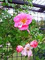 Roses Zoetermeer Floriade park 1.JPG
