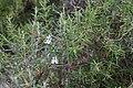 Rosmarinus officinalis-Romarin-20150904.jpg
