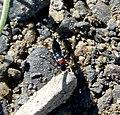 Rove Beetle. Paederidus ruficollis (Staphylinidae; Paederinae) (32967699175).jpg