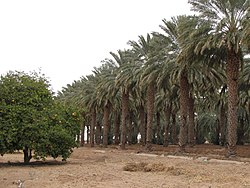 Rows of date palms behind the Dateland Travel Center.