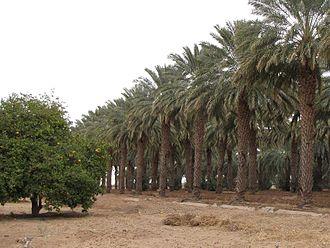 Dateland, Arizona - Rows of date palms behind the Dateland Travel Center.