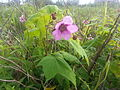 Rubus odoratus 2.jpg