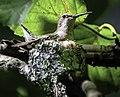 Ruby-throated hummingbird on nest 01.jpg