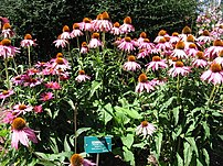 A stand of Echinacea purpurea