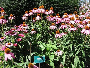 Echinacea purpurea - Image: Rudbeckia purpurea
