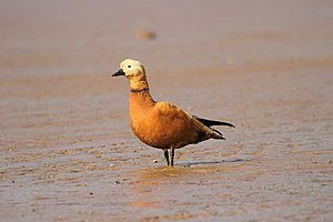 Ruddy shelduck David Raju.jpg