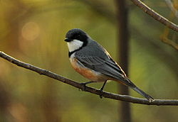 Rufous Whistler male kobble.jpg