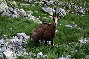 Chamois - Rupicapra rupicapra tatrica in the Tatra Mountains