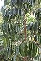 SZ 深圳 Shenzhen 福田 Futian 深圳市中心公園 Zhongxin Park 皇崗路 Guanggang Road plant Nov 2017 IX1 umbrella tree 02.jpg