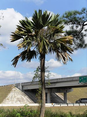 Sabal palmetto - Sabal 'Lisa' in Fort Myers, Florida