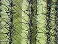 Saguaro cactus (6541091349).jpg