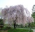 Sakura před knihovnou v Havířově.jpg