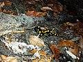 Salamandra salamandra sl1.jpg