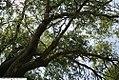 Salix matsudana Tortuosa 6zz.jpg